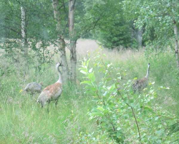 cranes_1596.JPG